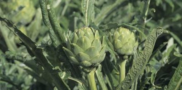 Ant Control for Artichokes