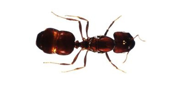 Get rid of ant infestations with boric acid.