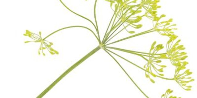 Dill flowers form a loose, umbrella-like head.
