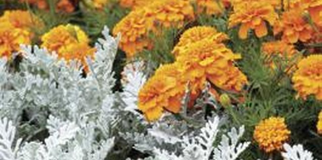 Dusty miller combines well with bright orange marigolds.
