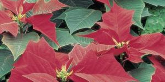 Whiteflies feeding on poinsettias can cause white stem.