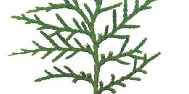 White cedar foliage emits a soft fragrance that permeates its immediate surroundings.