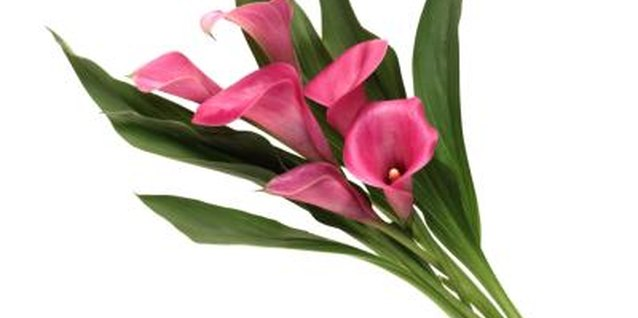 Calla lilies make excellent cut flowers.