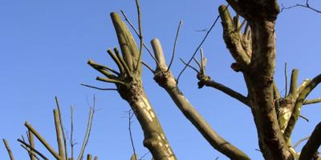 Your crepe myrtles grow back from pruning like this, but shouldn't have to.