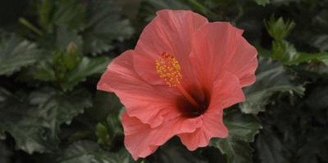 How to Maintain a Hibiscus Hedge