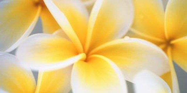 Plumeria is found in dozens of color combinations.