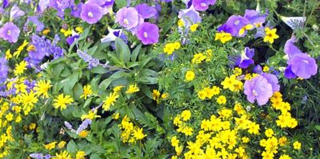 Purple and yellow flowers planted together make each color more vibrant.