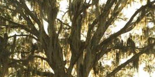 Spanish moss can add beauty and elegance to a tree.
