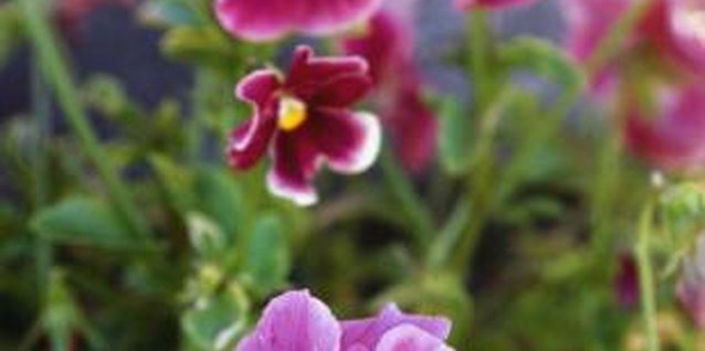 Pansies, with their vibrant colors and delicate petals, can be quite hardy.