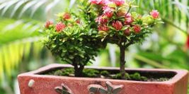 Miniature roses can grow in window boxes as well as standard pots.