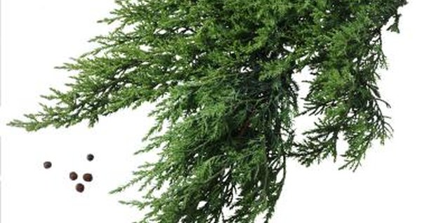 Juniper trees have bushy branches with distinctive needles.