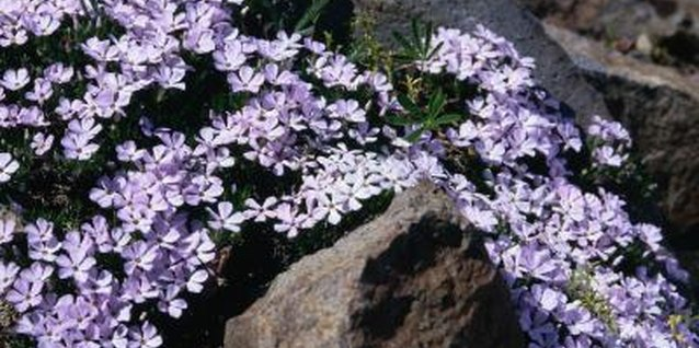 Phlox's root system isn't particularly large or difficult to manage, making removal simple.