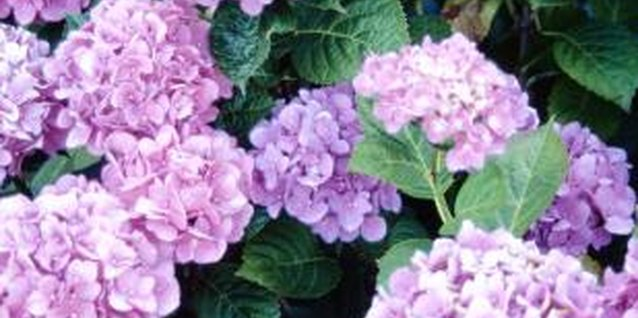 When your hydrangea isn't blooming like it should, check for mealybugs.