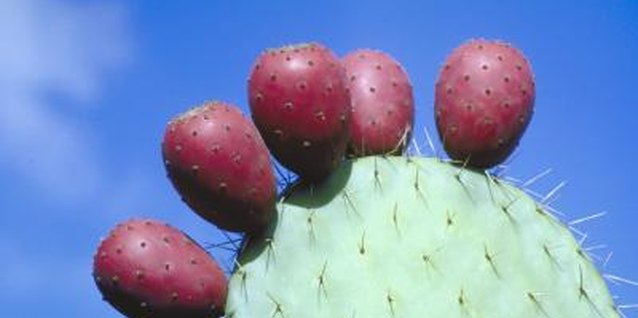 Ripe prickly pear fruit is edible raw or as jelly.