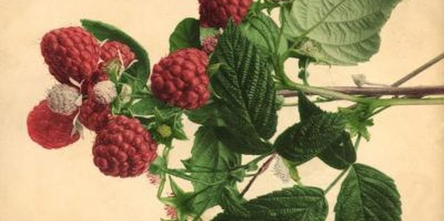 You can grow your own raspberry plant from seed.
