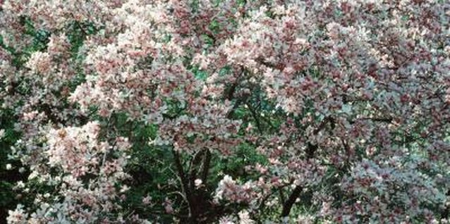 The Yoshino cherry tree's delicate blossoms range from white to pale pink.