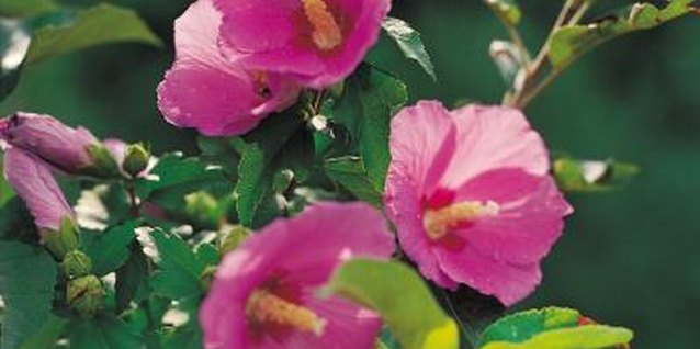 How to Deadhead Hollyhocks