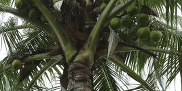 Coconut Palm Tree Information