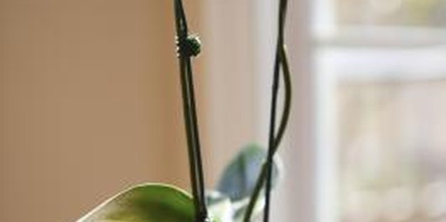 An orchid with healthy green leaves free of spots.