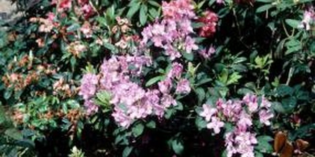 Rhododendrons range in size from 8 inches to 20 feet tall.