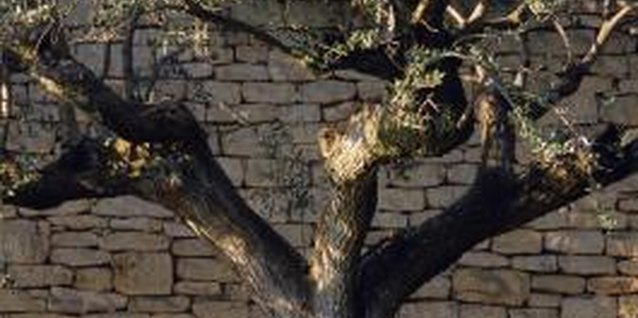 Olive trees don't heal by growing more bark, so take a few precautions with wounds.