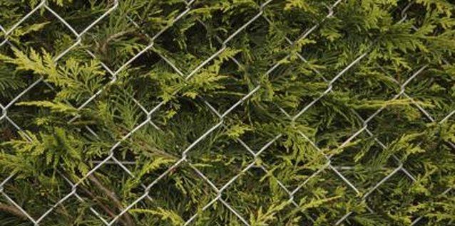 Tips on Cedar Hedges