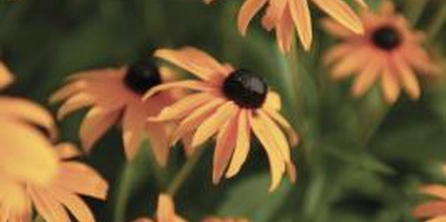 Purple Coneflower vs. Black-Eyed Susans for My Garden