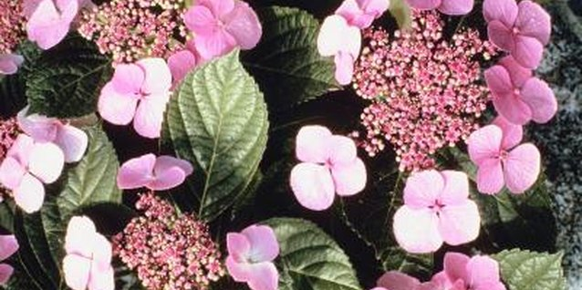 Variegated leaves occur most often on lacecap hydrangeas.