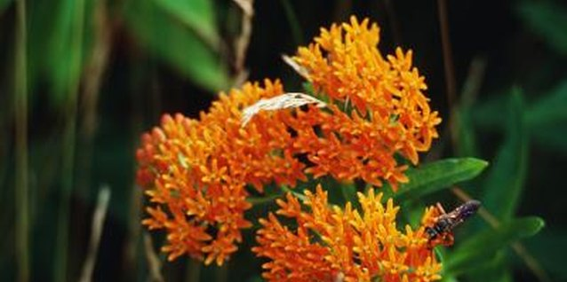 How to Plant Butterfly Weed Seeds