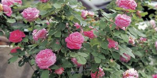 Layering can give you a larger rosebush sooner than cuttings.