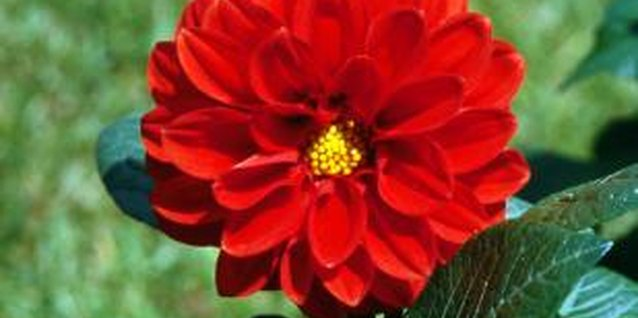 Dahlias enjoy bright light but not high heat.