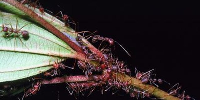 Ants swarm on a plant to eat honeydew left from aphids.