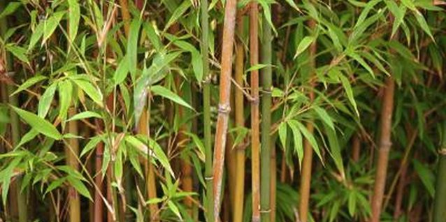 Bamboo is beautiful but invasive.
