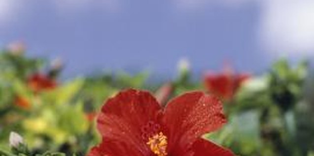 Hibiscus plants benefit from periodic trimming during the growing season.