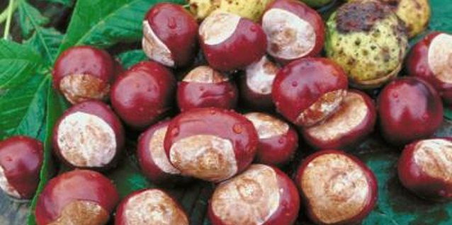 Horse chestnuts are pretty but inedible.