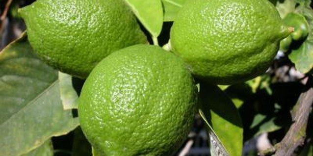 How to Plant Kaffir Limes