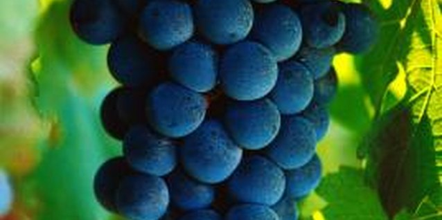 Grape varieties are available for growing in almost every region of the country.
