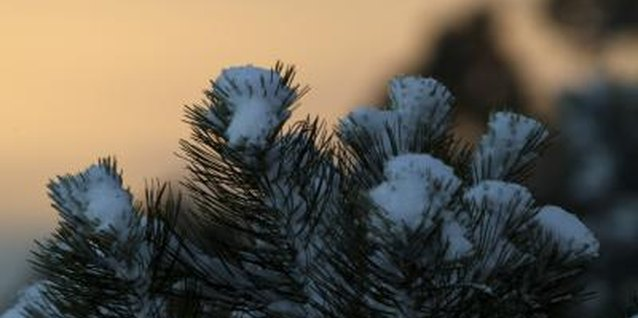 Colorado spruce trees have long needles that end in a point.