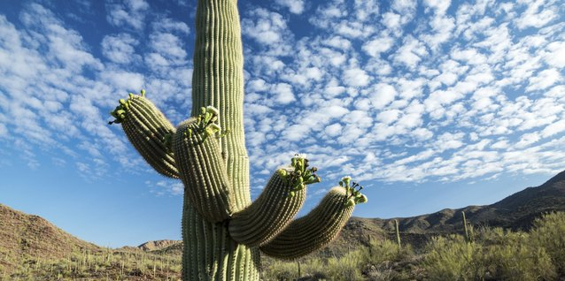 Rain-soaked soil and high winds can knock over a giant saguaro.
