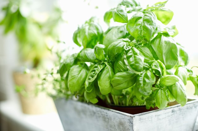 Close-up image of fresh basil plant