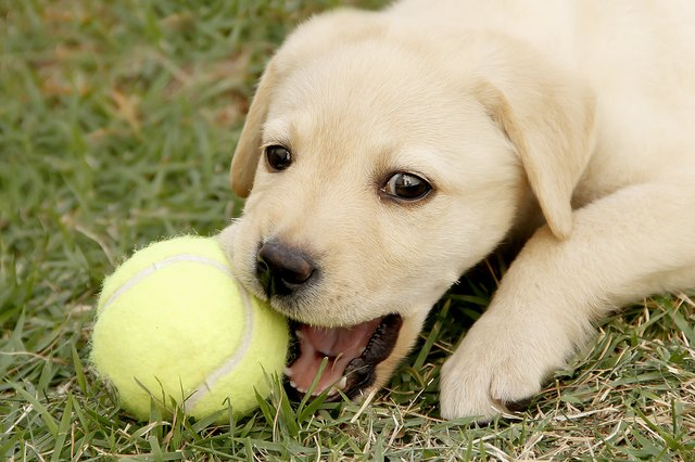 Labrador puppy playing with ball outdoors