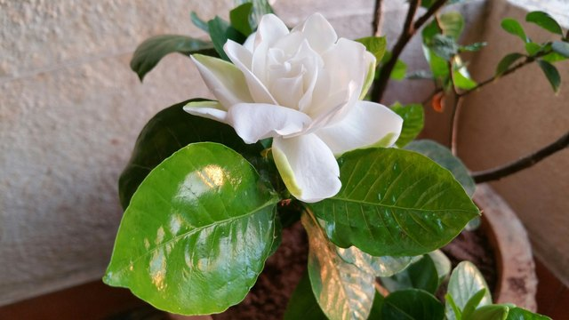 Close-Up Of Gardenia Blooming On Potted Plant