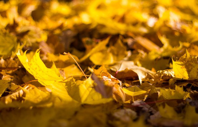 Lots of yellow autumn maple leaves on the ground close up on a Sunny day. leaf fall. Dry leaves underfoot.