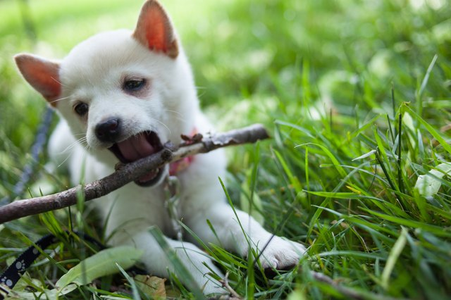shiba inu puppy playing in the grass