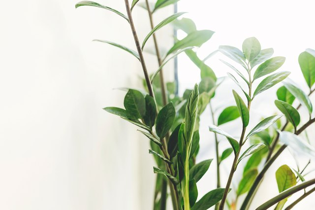 Fresh new green leaves growing from zz plant, close up. Beautiful zamioculcas plant in sunny light on window sill on white background. Houseplant. Plants in modern interior room