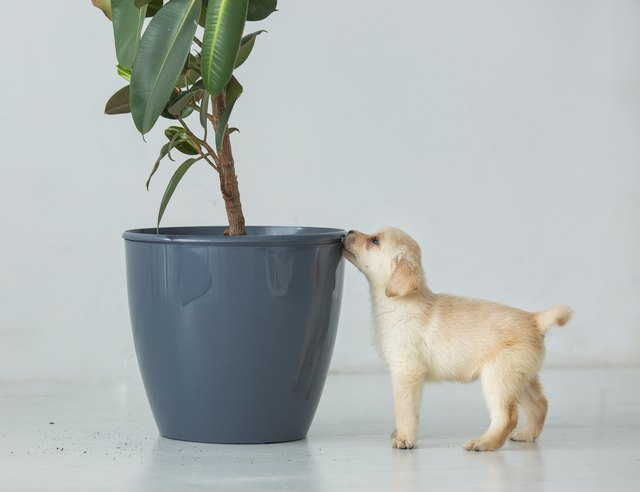 Puppy of a labrador near a pot with a house plant