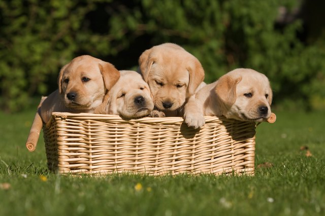 labrador puppys in a basket