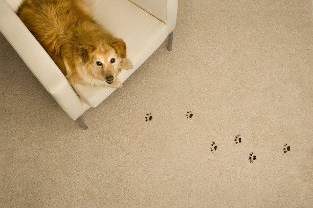 Dog Prints on Carpet