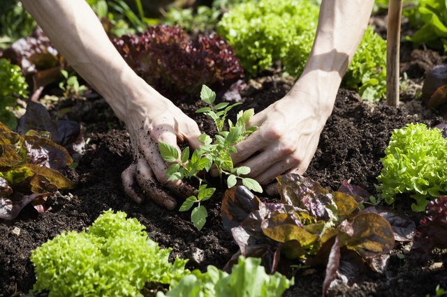 Man's hand planting tomato plant in a bed