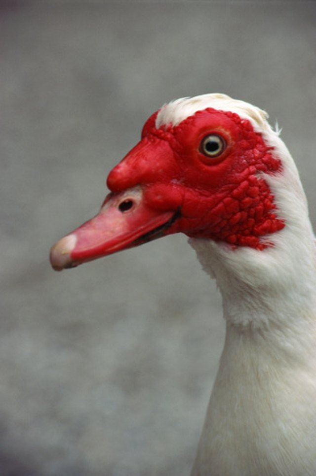 How To Get Rid Of Muscovy Ducks Ehow
